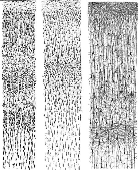 neutral cortex